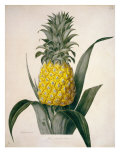 The Queen Pineapple Giclee Print by  Porter Design