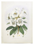 Rhodedendrum Dalhousie Prints by  Porter Design