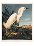 Snowy Heron or White Egret Giclee Print by  Porter Design