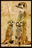 Suricates Poster