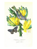 Finch on Bunch of Bananas Giclee Print by  Porter Design