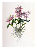 Barkeria Spectabilis Giclee Print by  Porter Design
