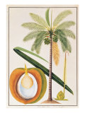 Kelapa or Coconut Palm Print by  Porter Design