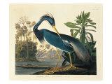 Louisiana Heron Plate 217 Reproduction procédé giclée par  Porter Design