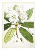 Rhodedendrum Aucklandi Prints by  Porter Design