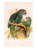 Joseph Smit Parrots Plate 9 Stampa di  Porter Design