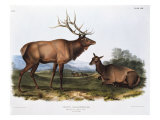 American Elk Prints by  Porter Design