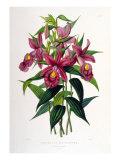 Sobralia Macrantha Giclee Print by  Porter Design