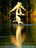 Two Pelicans Standing in Morning Light as a Pair, with Reflection Photographic Print by Brooke Whatnall