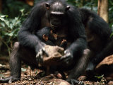 Mother Chimp with an Infant Cracks Nuts with a Stone Hammer Photographic Print by Michael Nichols