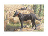 Australian Kelpie Dogs Herd Sheep Photographic Print