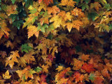 Maple Leaves in the Fall Photographic Print by Annie Griffiths Belt