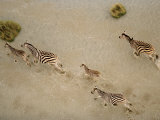 Zebras Crossing Shallows Photographic Print by Bobby Haas