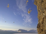 Black-Legged Kittiwake Gulls Land at a Cliff Rookery by King's Fjord Photographic Print by Gordon Wiltsie