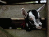 New Zealand Goat Kid Peers from it's Pen at a Goat Milk, Cheese Farm Photographic Print by Paul Sutherland