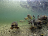 Cutthroat Trout School in Lake Photographic Print by Michael S. Quinton