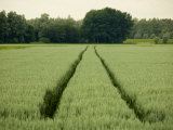 Thick Field of Grain on a Dutch Farm Photographic Print by Mattias Klum