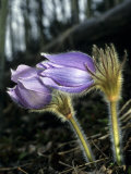 Pasque Flower Grows in Open, Exposed Slopes Early in Spring Photographic Print by Michael S. Quinton
