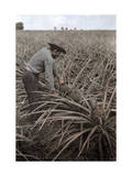 Farmer Collects Pineapples from Plants in Puerto Rico Fotografisk trykk av Charles Martin