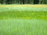 Tall Grasses in Yosemite Valley, Yosemite National Park Photographic Print by Charles Kogod