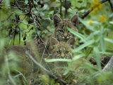 Young Bobcats Photographic Print by Michael S. Quinton