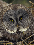 Great Gray Owl on Nest Photographic Print by Michael S. Quinton