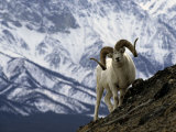 Very Large Dall Sheep Ram on the Grassy Slopes of its Winter Range Photographic Print by Michael S. Quinton