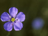 Blue Flax and a Tiny Red Mite Photographic Print by Michael S. Quinton