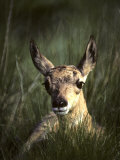 Big Black Eyes of a Pronghorn Fawn are Quick to Spot Trouble Impressão fotográfica por Michael S. Quinton