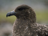 Brown Skua (Catharacta Antarctica) on King George Island Photographic Print by Gordon Wiltsie