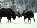 Bull Moose Engage in a Little Friendly Pushing Photographic Print by Michael S. Quinton