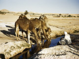 Seated Man Holds Reins of Camels Drinking Water from an Oasis's Well Photographic Print by Maynard Owen Williams