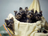 Portrait of Yorkshire Terrier Puppies Sitting in a Basket Photographic Print by Willard Culver