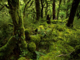 Moss-Covered Trees in a Rainforest in Fiordland National Park Lámina fotográfica por Annie Griffiths Belt