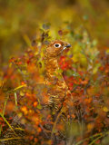 Willow Ptarmigan in Fall Foliage, Denali National Park, Alaska Photographic Print by Michael S. Quinton
