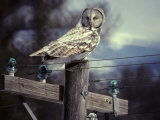 Great Gray Owl on Old Telephone Poles Photographic Print by Michael S. Quinton