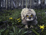 Great Horned Owl Young in Aspen Grove, Idaho Photographic Print by Michael S. Quinton