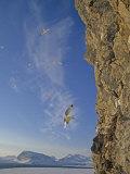 Black-Legged Kittiwake Gulls (Rissa Tridactyla Tridactyla) Landing Photographie par Gordon Wiltsie