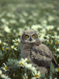 Young Great Horned Owl, Idaho Meadow Photographic Print by Michael S. Quinton