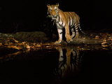 Quills in the Mouth and a Swollen Paw Prohibit Hunting for This Tiger Photographic Print by Michael Nichols