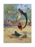 Whydahs, Red-Bellied and Orange Weaverbirds Share a Branch Photographic Print by Allan Brooks