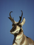 Pronghorn Buck Watching over His Harem, Keeps an Eye Out for Inturders Photographic Print by Michael S. Quinton
