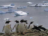 Gentoo Penguins and Icebergs Photographic Print by Gordon Wiltsie