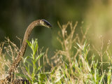 Black Mamba Raising Up it's Head, Ready for Attack in Tall Grasses Photographic Print by Beverly Joubert