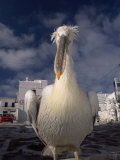 Close Portrait of a White Pelican, the Mascot of Mykonos Island Photographic Print by Paul Sutherland