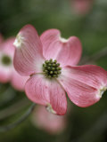 Close Detail of a Pink Dogwood Blossom Photographic Print by Paul Sutherland