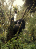 Mountain Gorilla Breaks Branches Off a Giant Senecio to Get at the Pith Photographic Print by Michael Nichols