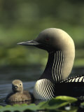 Pacific Loon and Chick on Pond in Alaska Photographic Print by Michael S. Quinton