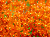 This Butterfly Weed Is a Celebration of Rich Orange Color and Pattern Photographic Print by  White & Petteway