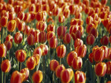 Mass Planting of Tulips in Bloom in the Spring Photographic Print by Paul Sutherland